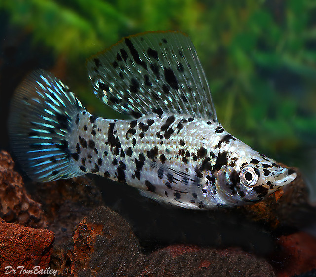 "Premium Dalmatian Sailfin Molly Male, 2"" to 2.5"" long"