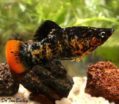 Premium New and Rare, Orange Tail Molly, Size: 1.5