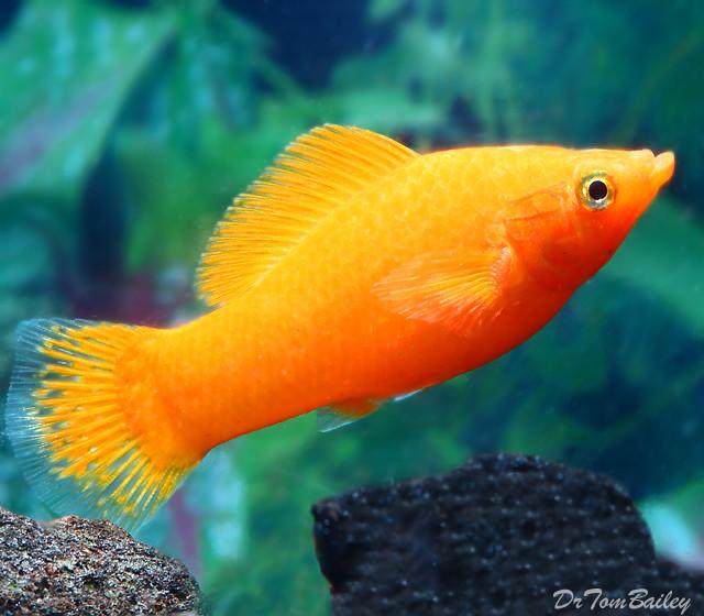 "Premium Rare Female Tangerine Sailfin Molly, 2"" to 2.5"" long"