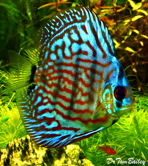 Premium Red & Blue Discus, 2.5