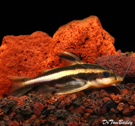 "Premium Striped Raphael Talking Catfish, 2.5"" to 3"", tank raised"