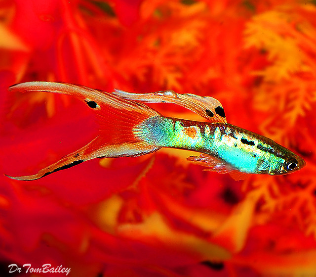 "Premium Male Twin Swordtail Fancy Guppy, 1"" to 1.5"" long"