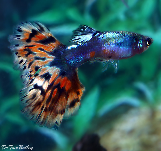 "Premium MALE, Rare and New, Blue Diamond Variegated Fancy Guppy, 1"" to 1.5"" long"