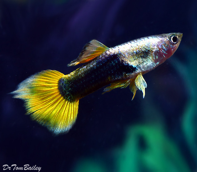 "Premium Male Bumblebee Fancy Guppy, 1"" to 1.5"" long"