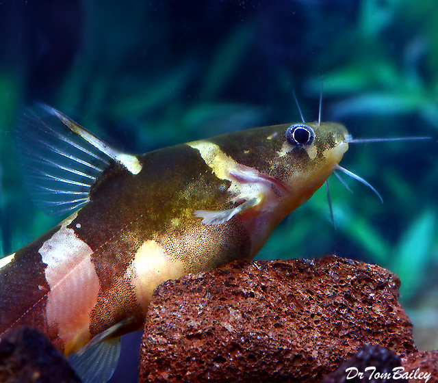 Premium Asian Bumblebee Catfish, 1.5