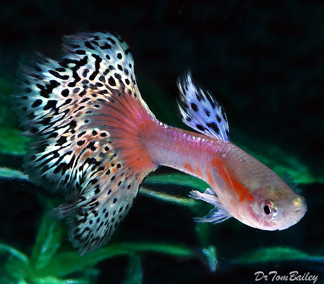 "Premium MALE Pink Variegated Fancy Guppy, Size: 1"" to 1.5"""