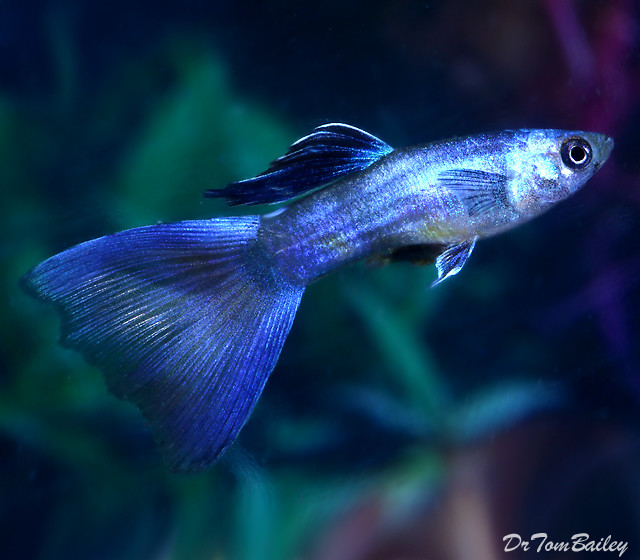 "Premium Male Moscow Blue Fancy Guppy, 1"" to 1.5"" long"