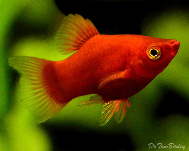 "Premium Dwarf Coral Red Platy, .5"" to .75"" long"