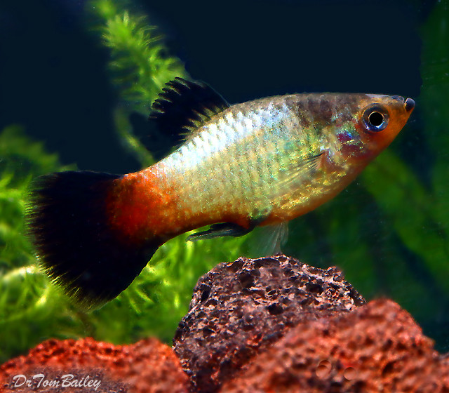 "Premium New and Rare, Rainbow Wag Platy, 1"" to 1.2"" long"