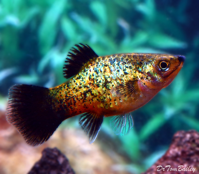 "Premium Spangled Wag Platy, 1"" to 1.5"" long"