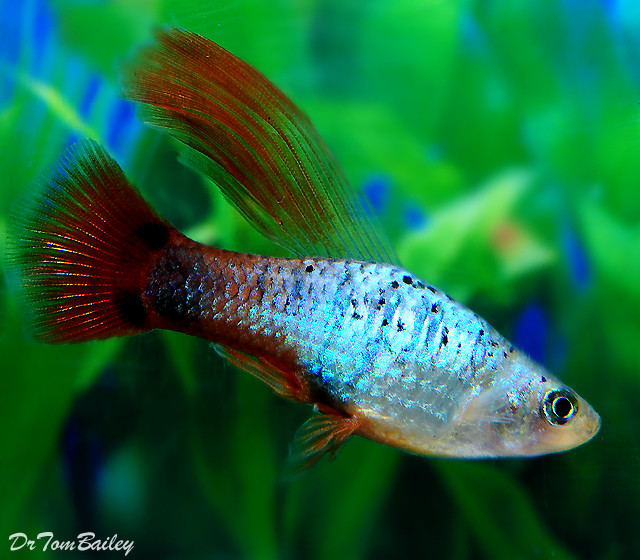 "Premium New and Rare Coral Blue Hifin Platy, 1.5"" to 2"" long"