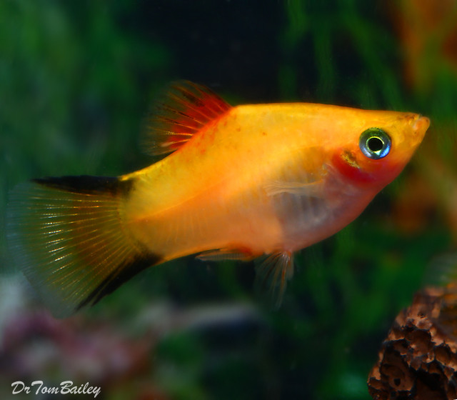 "Premium Gold Twin Bar Platy, 1"" to 1.5"" long"
