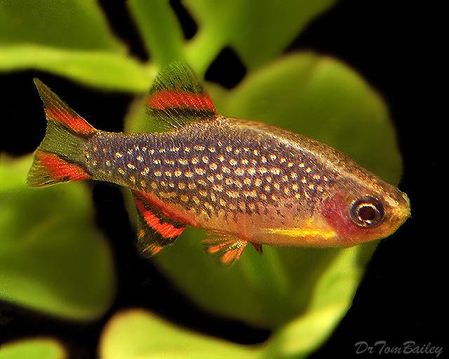 """Premium Celestial Pearl Danio, Nano Fish, Size: 0.5"""" to .7"""""""