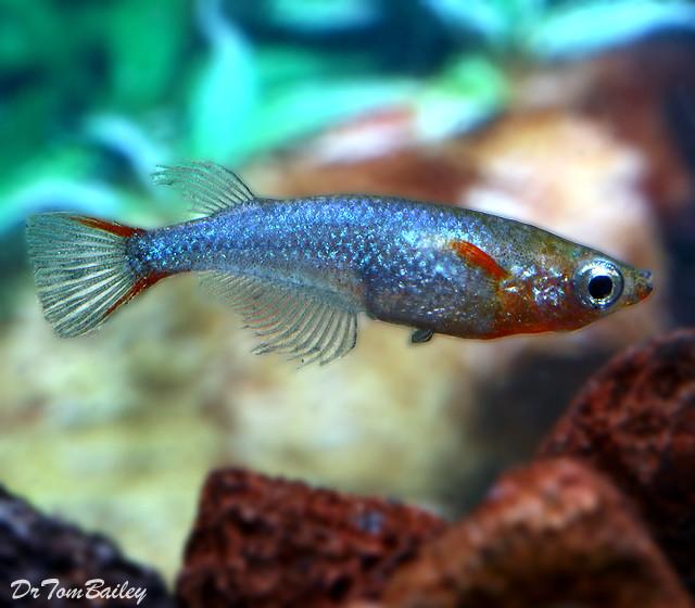 """Premium Daisy's Ricefish, 1"""" to 1.2"""" long"""