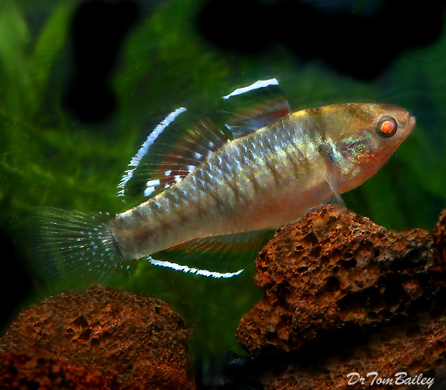 Premium, New & Rare, Empire Gudgeon, 1.5