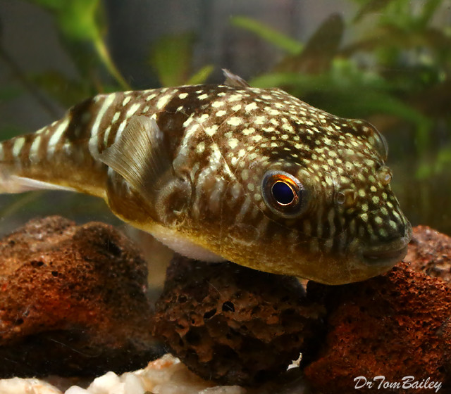 "Premium Rare Milk Spotted Pufferfish, 2.5"" to 3"" long"