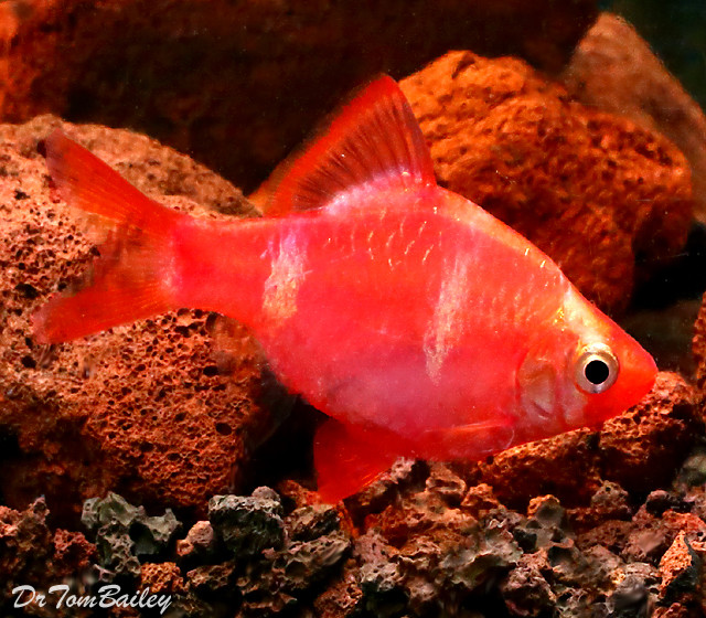 "Premium Rare Strawberry Tiger Barb, Size: 1.5"" to 2"""