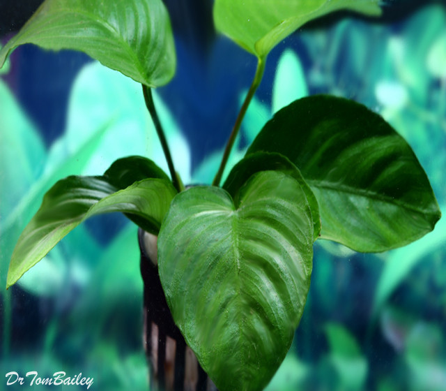 "Premium Anubias Barteri, Potted Plant, 5"" to 6"" tall."