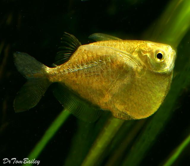 "Premium Platinum Hatchetfish, 1"" to 1.5"" long"