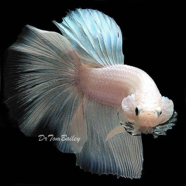 Premium Rare Opaque White Male Betta, 2