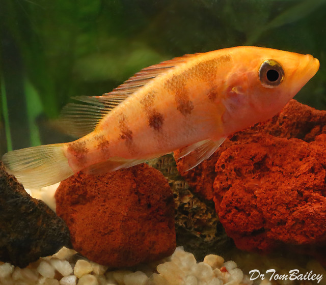 "Premium Red Bay Snook Cichlid, 4"" to 5"" long, eating a lot and growing fast!"