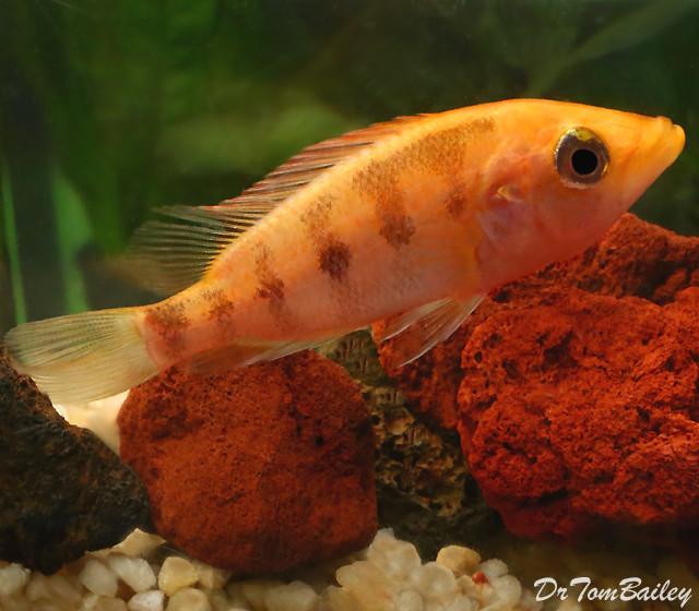 Premium Red Bay Snook Cichlid, 4