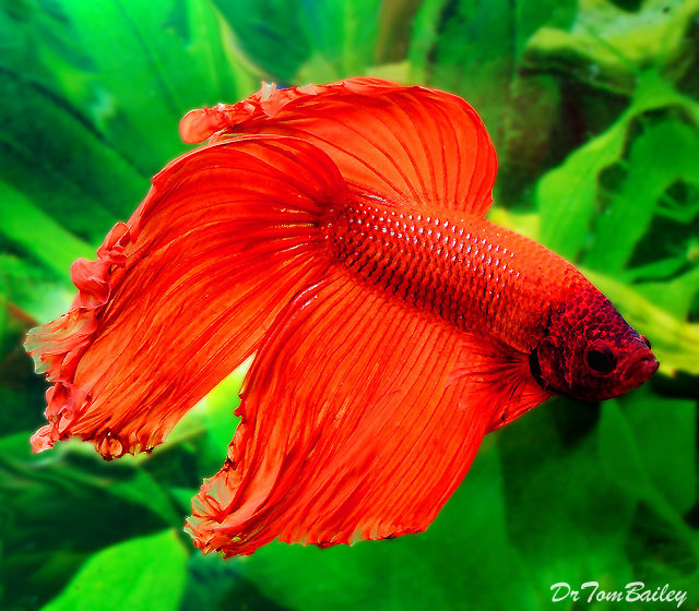 "Premium Male Red Betta Fish, 2.5"" to 3"" long"