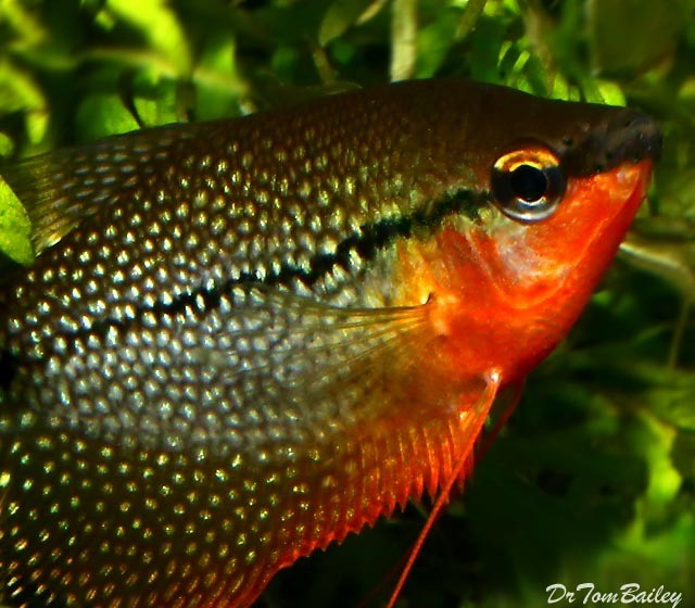 "Premium Pearl Gourami, 2"" to 2.5"" long"