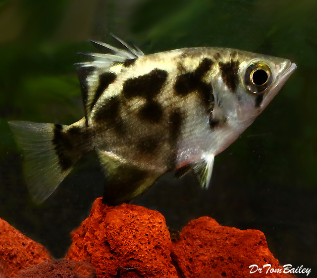 "Premium, Wild, New and Very Rare, Freshwater Clouded Archer Fish, 3"" to 3.5"" long"