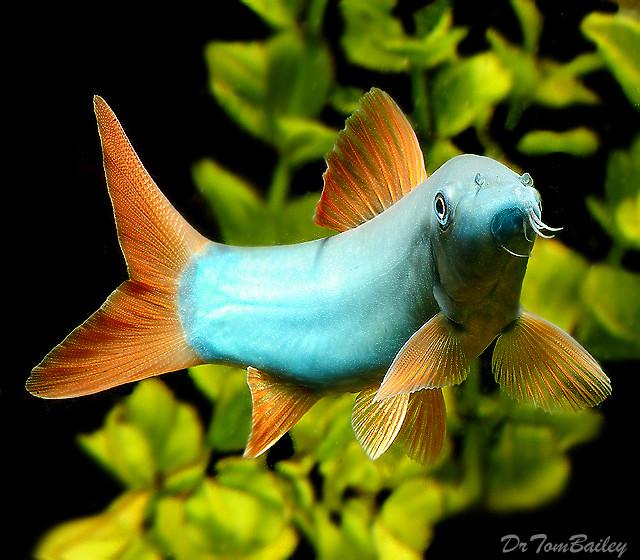 "Premium Wild Redtail Blue Loach, 1.5"" to 2"" long"