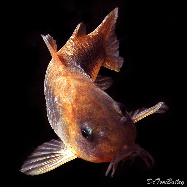 Premium Bronze Corydoras Catfish, 1