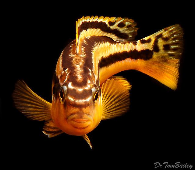 BABY Lake Malawi Baby Melanochromis Auratus Mbuna Cichlid, 0.5