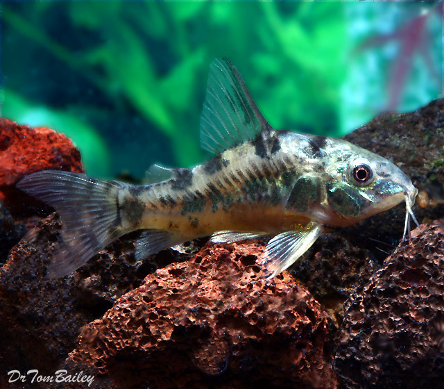 "Premium Peppered Paleatus Corydoras Catfish, 1"" to 1.2"" long"