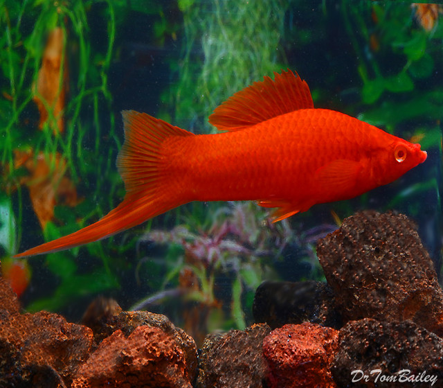 "Premium Red-Eye Red Swordtail, Size: 2"" to 2.5"""