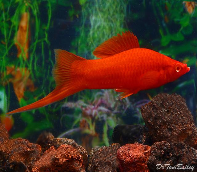 "Premium Red-Eye Red Swordtail, 1.5"" to 2"" long"