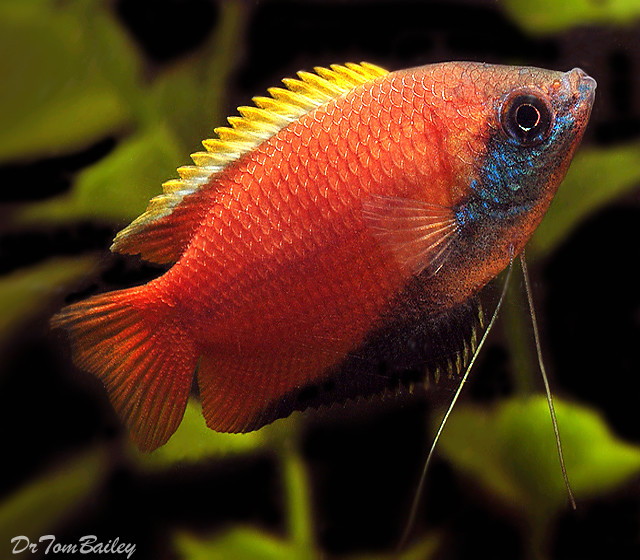 "Premium Honey Gourami, 1"" to 1.5"" long"