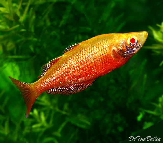 "Premium Albino Irian Rainbowfish, 1.5"" to 2"" long"