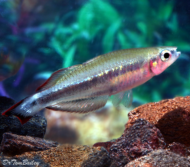 "Premium Madagascar Rainbow, 1"" to 1.5"" long"
