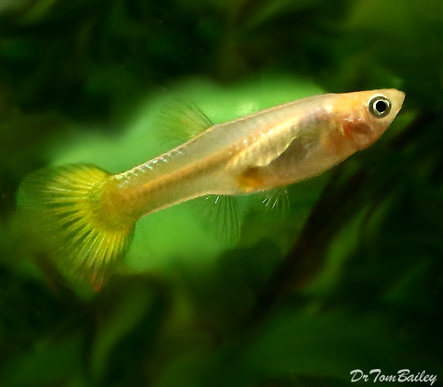 Premium Fancy Female Gold Cobra Guppy, 1