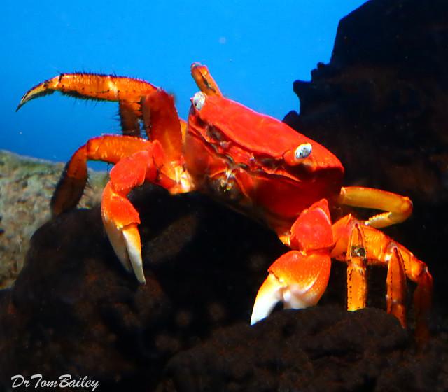 "Premium New & Rare, Freshwater Red Chili Crab, 2"" to 2.5"" wide"