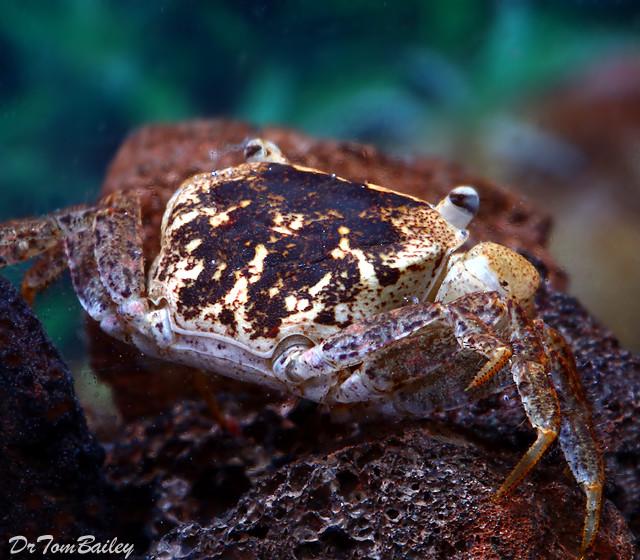 """Premium Rare Batik Freshwater Crab, 1"""" to 1.5"""" wide"""