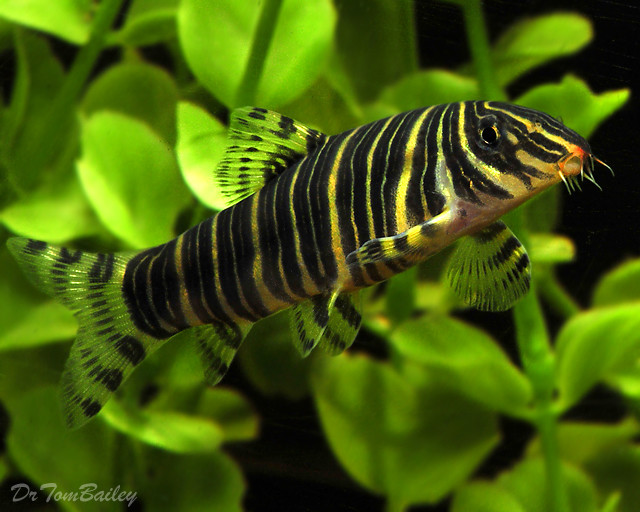 "Premium Zebra Loach, 1"" to 1.5"" long"