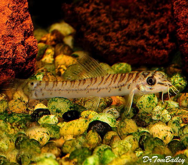 "Premium New and Rare, Mountain Loach, 1.5"" to 2"" long"