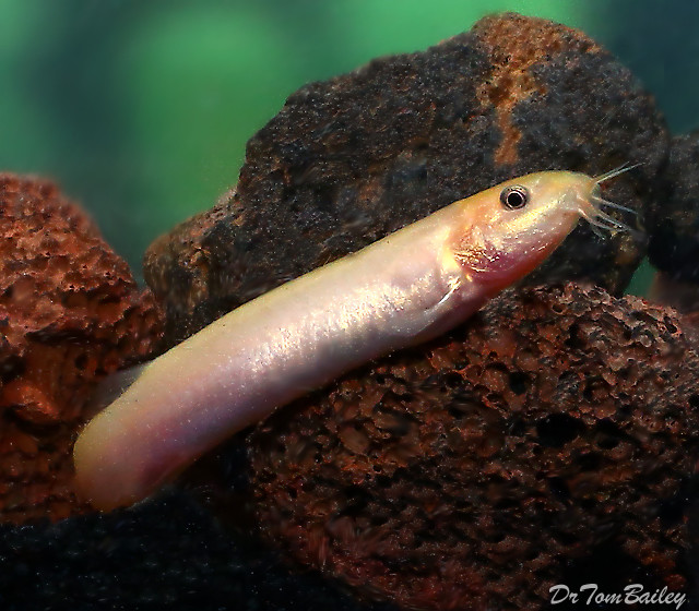 "Premium Gold Weather Loach, 2"" to 2.5"" long"