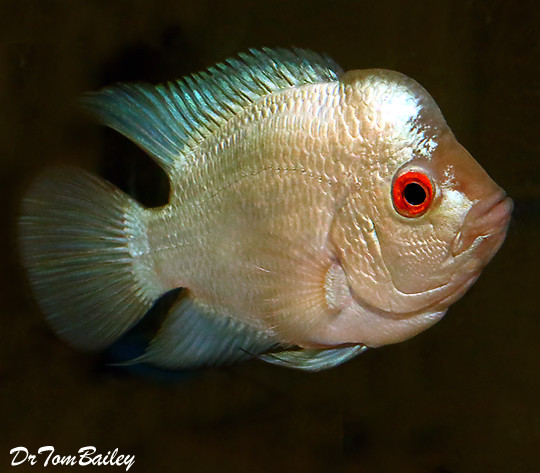 "Premium Rare and New, Blue Diamond Flowerhorn Cichlid, 3.5"" to 4"" long"