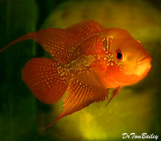 "Premium Rare and New, Red Chili Flowerhorn Cichlid, 4"" to 4.5"" long"