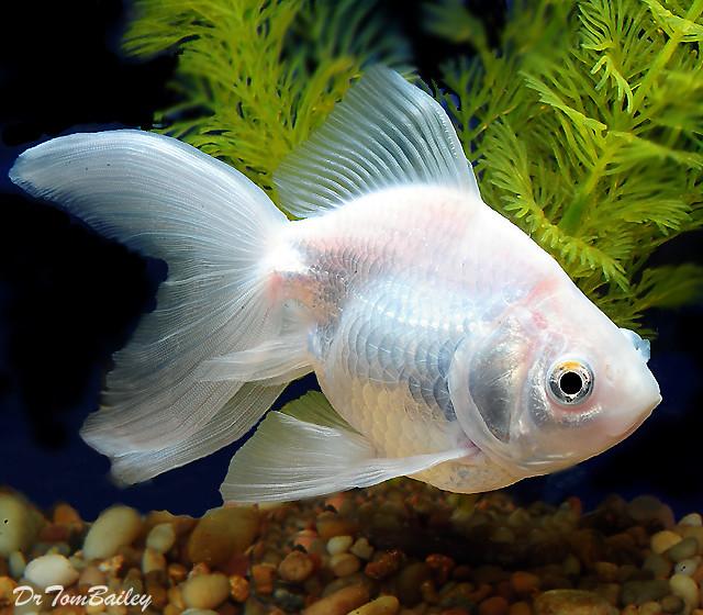 "Premium Pearl White Ryukin Goldfish, 3"" to 3.5"" long"