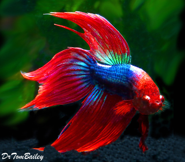 Premium Male Red & Blue Betta Fish, 2