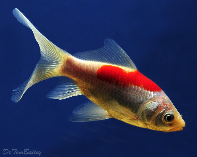 "Premium Red & White Pond Comet, 3"" to 3.5"" long"