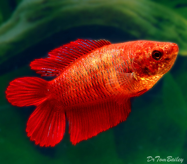 "Premium FEMALE Natural Twin Tail Red Betta Fish, 1"" to 1.5"" long"